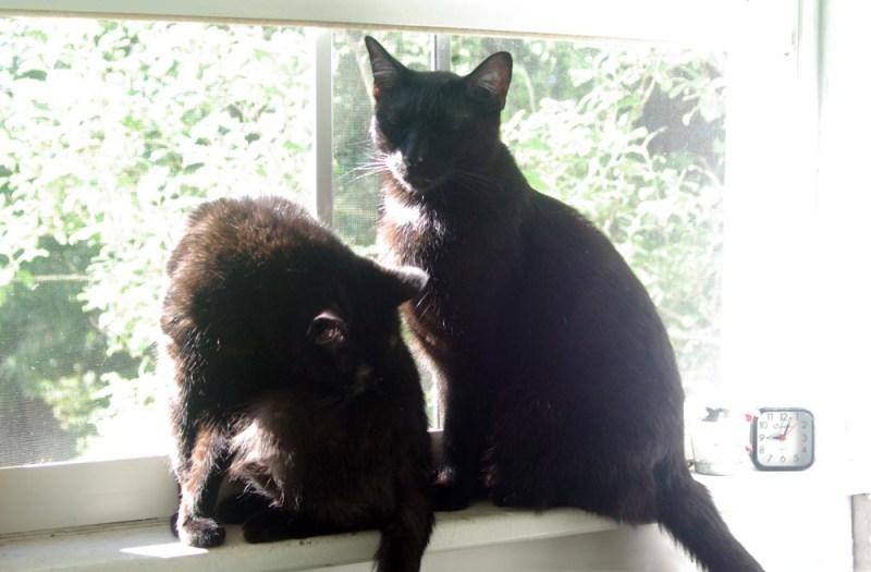 two black cats on sunny windowsill