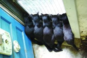 five black cats at door