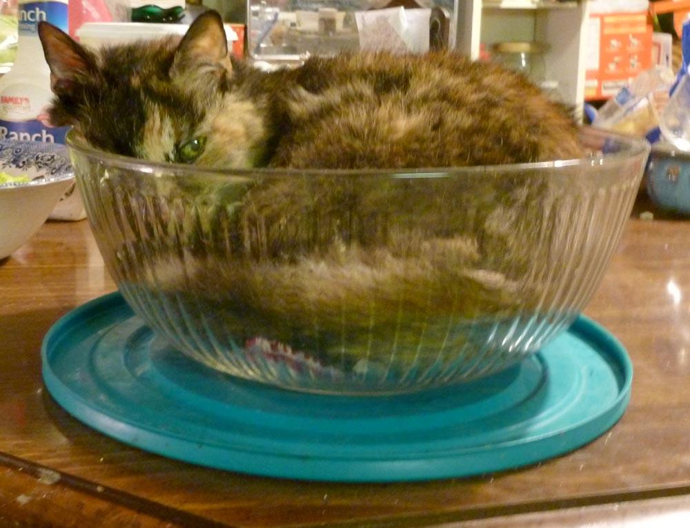 tortoiseshell cat in bowl
