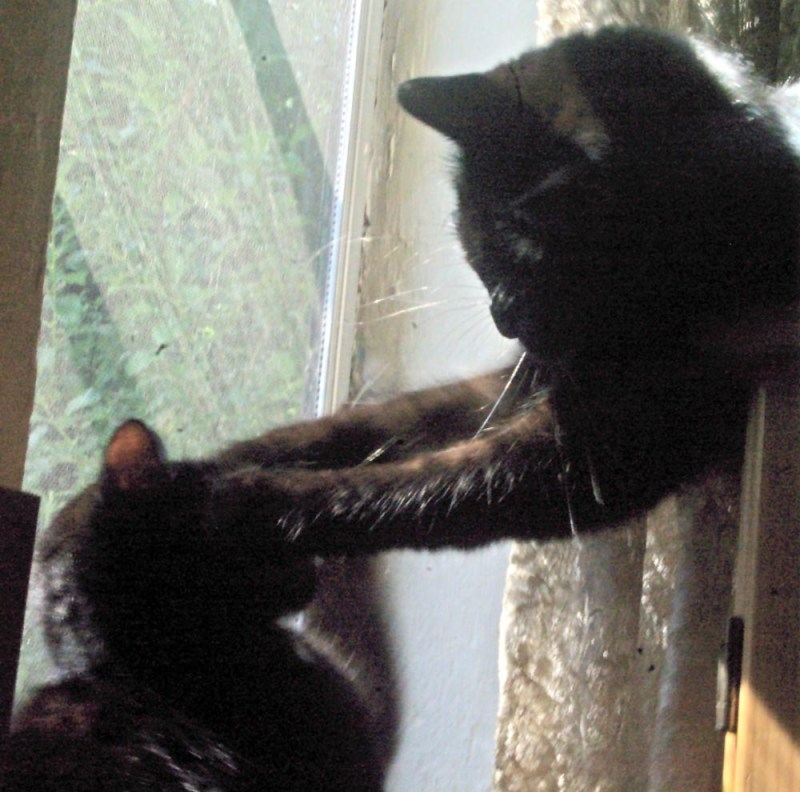 black cats wrestling