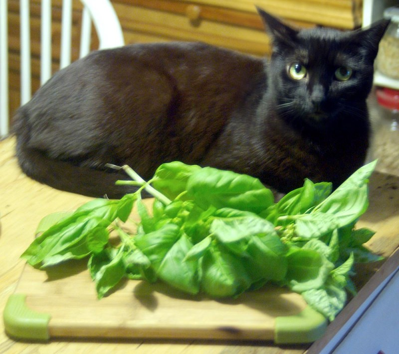 black cat with basil