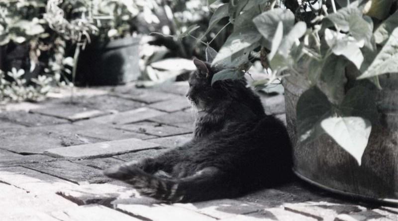 gray tabby cat in shade of bean plants