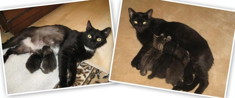 photos of two black cats with kittens