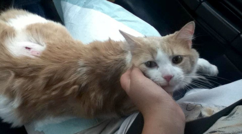 orange and white cat with injury