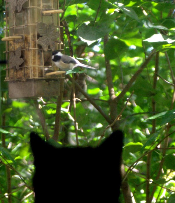 cat silhouette looking at chickadee on feeder