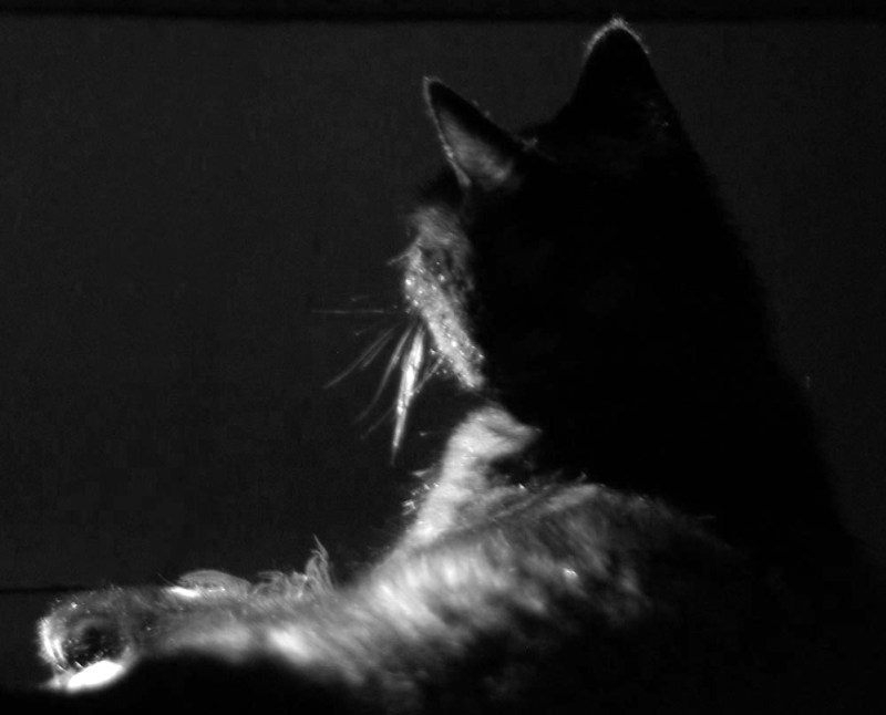black and white photo of cat silhouette