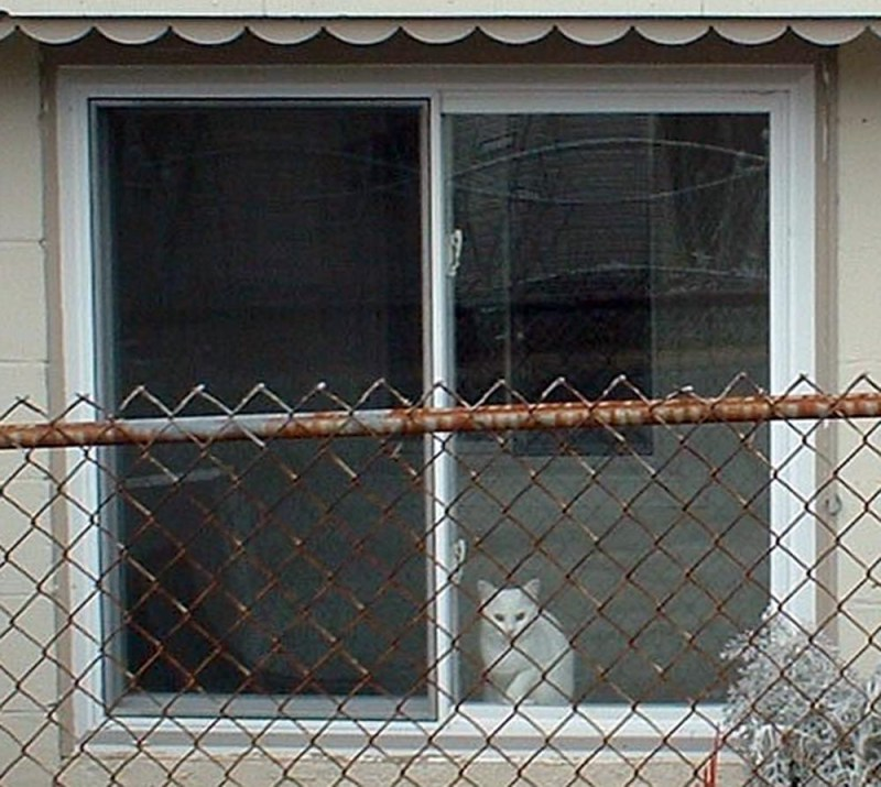 white kitty in the window