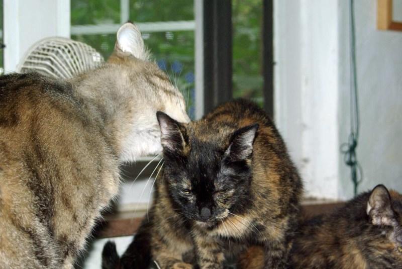 tabby cat washing tortoiseshell cat