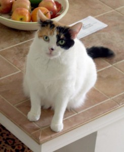 calico cat on counter