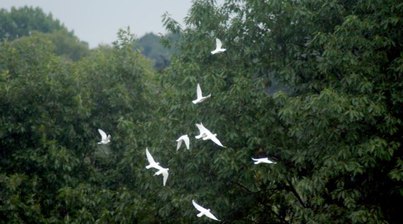 white doves with trees
