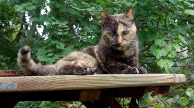 tortoiseshell cat on picnic table