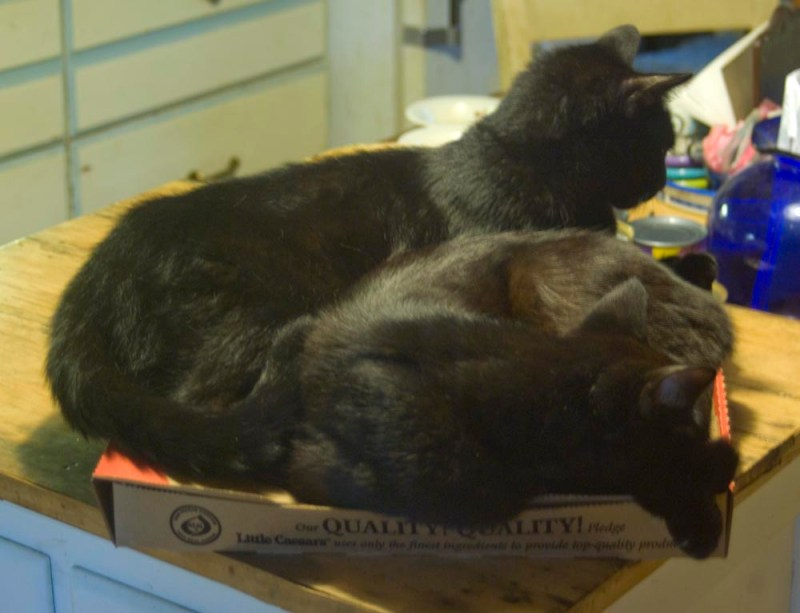 two black cats sleeping on pizza box