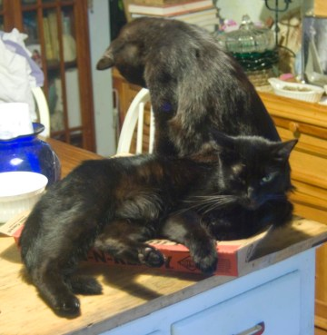 two black cats on pizza box