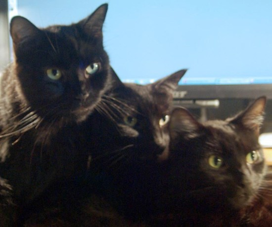 closeup of three black cat faces