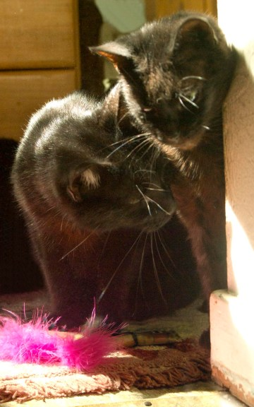 two black cats with catnip toy