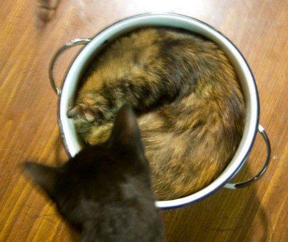 black cat looks at tortoiseshell cat in pot