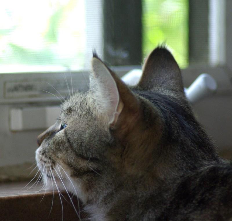 tabby cat with chin on windowsill