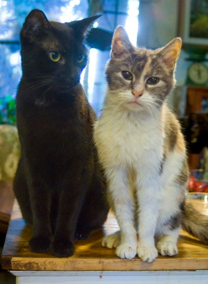 black cat and calico cat