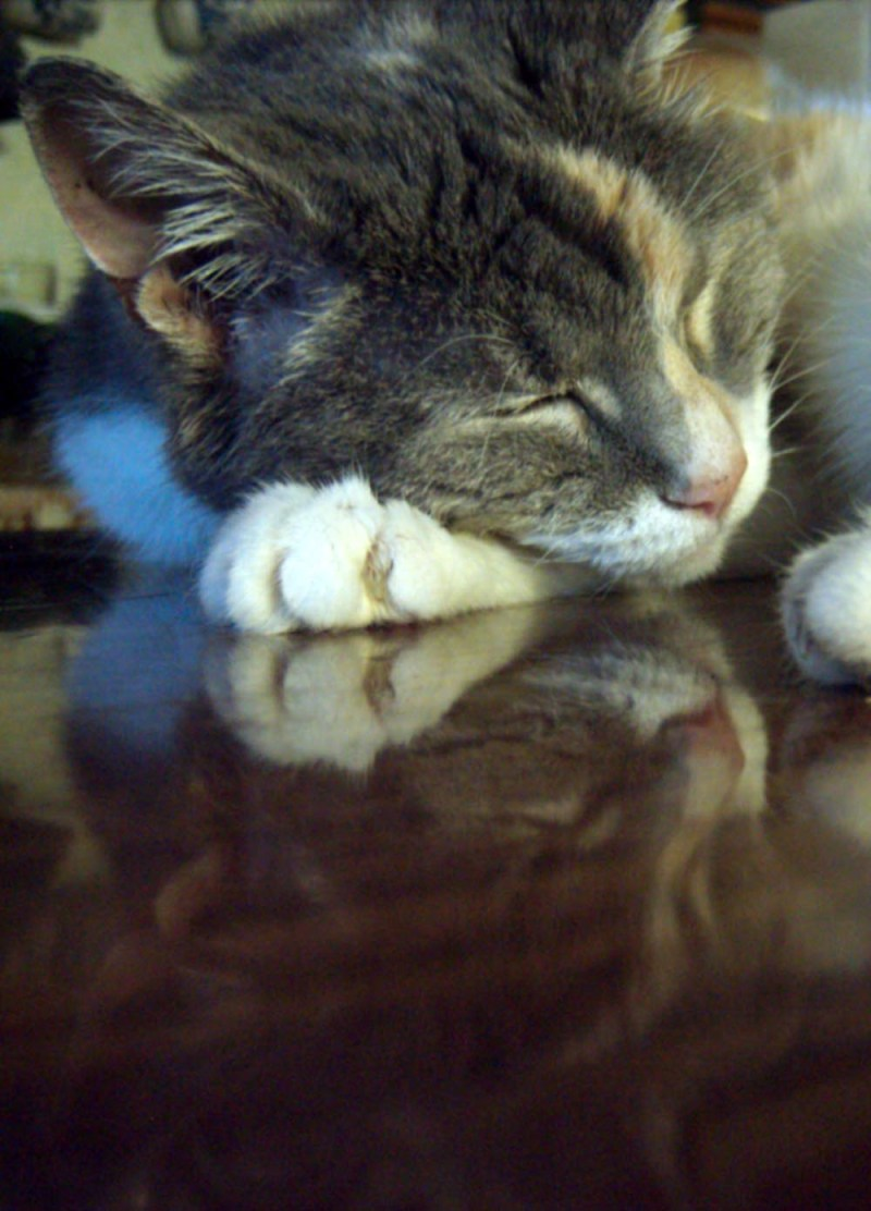 calico cat reflected in table