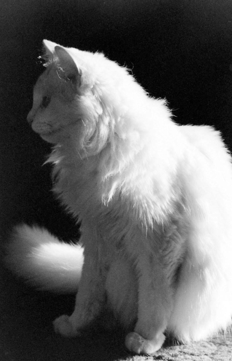 Profile of white cat