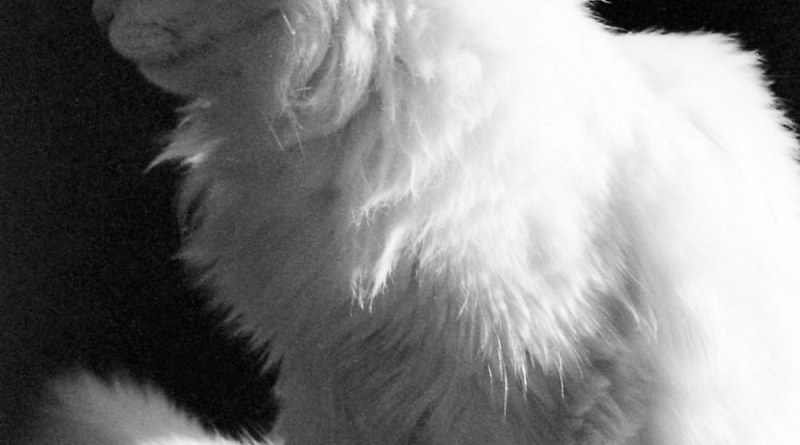 Profile of white cat