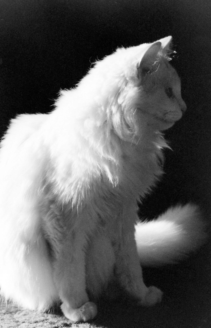 white cat in profile