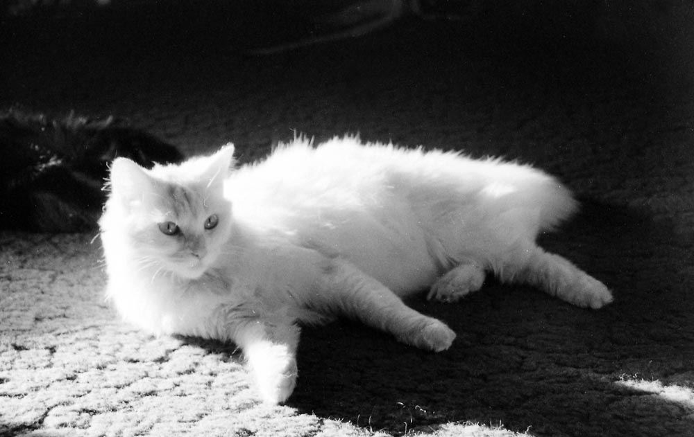 white cat reclining