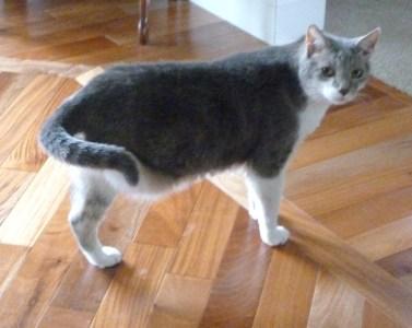 cat with three legs