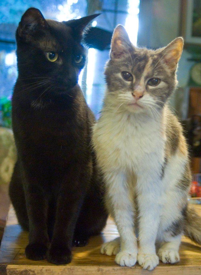 black cat and dilute tortoiseshell cat