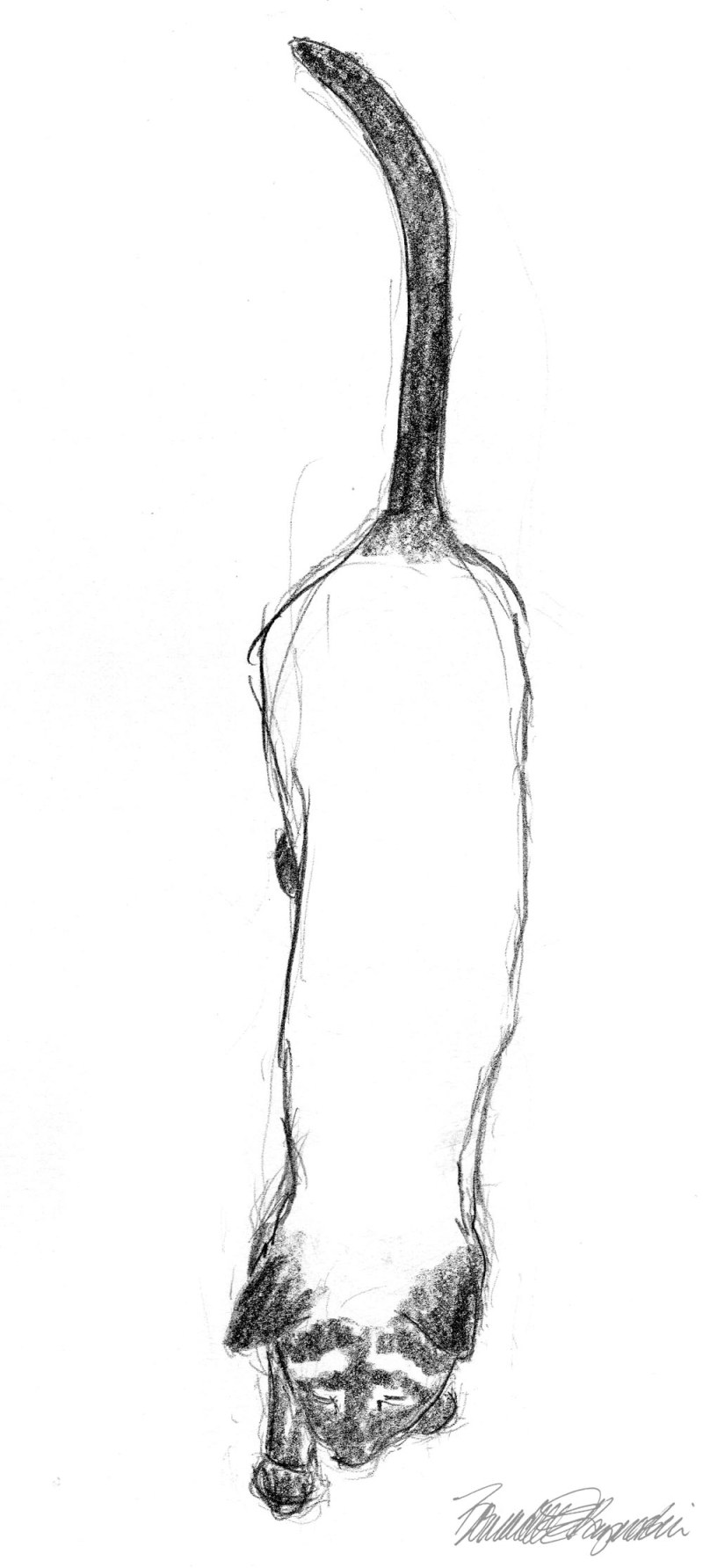 pencil sketch of siamese cat