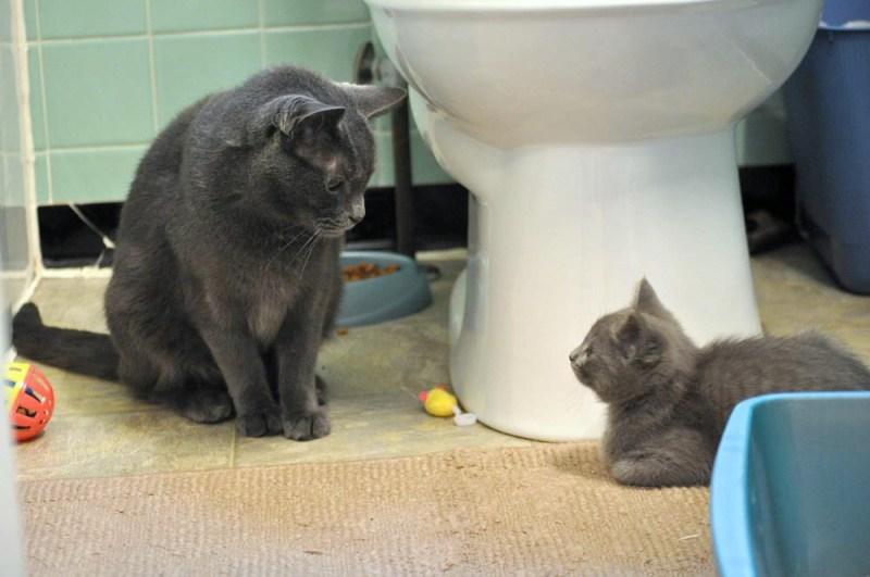 gray kitten and gray cat