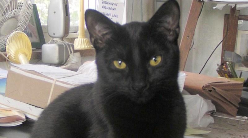 black cat face