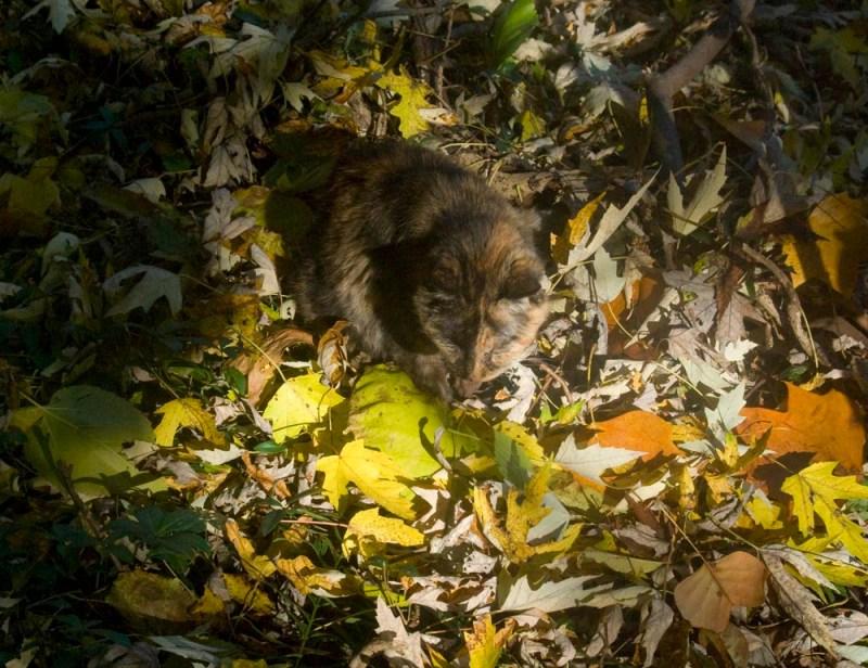 tortoiseshell cat in autumn leaves