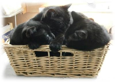 three black cats in basket