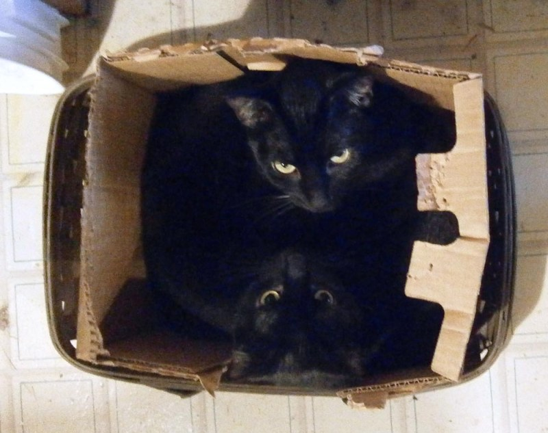 two black cats in a box