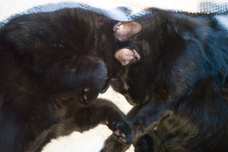 two black cats with foreheads together