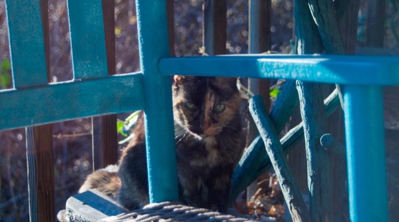 tortoiseshell cat with turquoise rocker