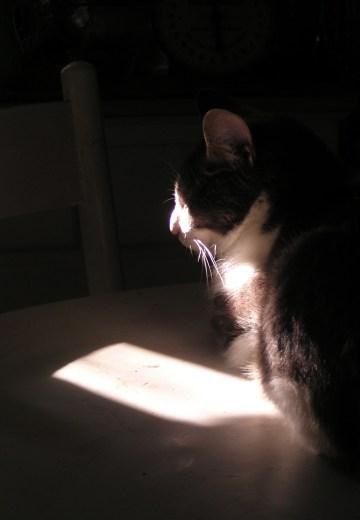 cat in spot of sun