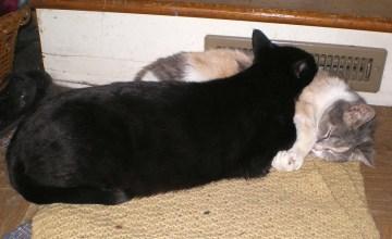 black cat using calico cat as pillow