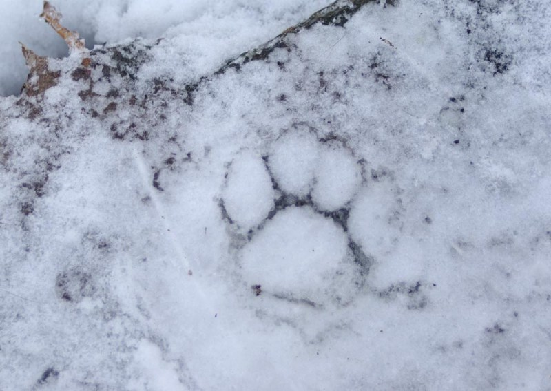 A pawprint frozen into the ice on my steps, with snow to fill.