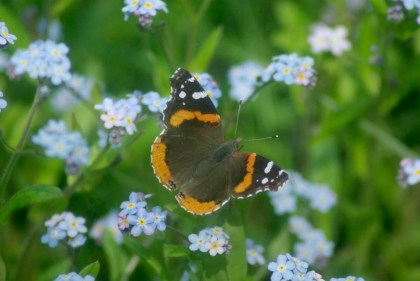 butterfly in forget me nots