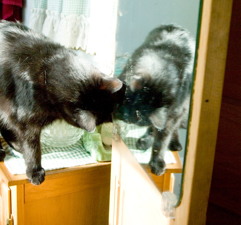 black cat with reflection in mirror