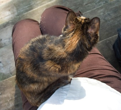 tortoiseshell cat on lap.