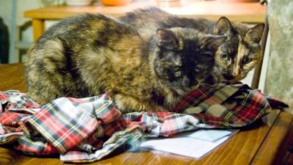 two tortoiseshell cats on plaid bathrobe