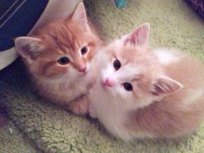 two orange kittens