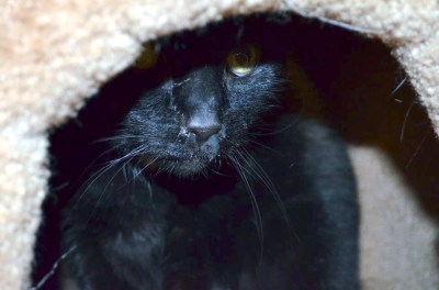 black cat with runny nose