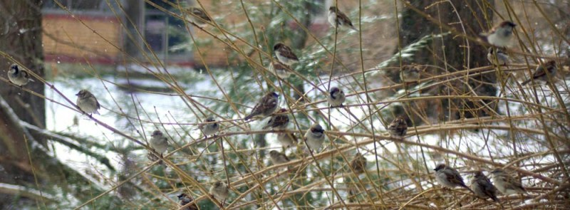 Sparrows in the forsythia.