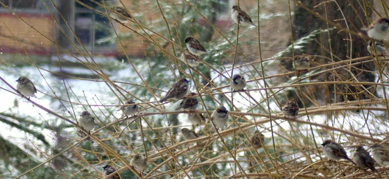 Sparrows waiting in line.