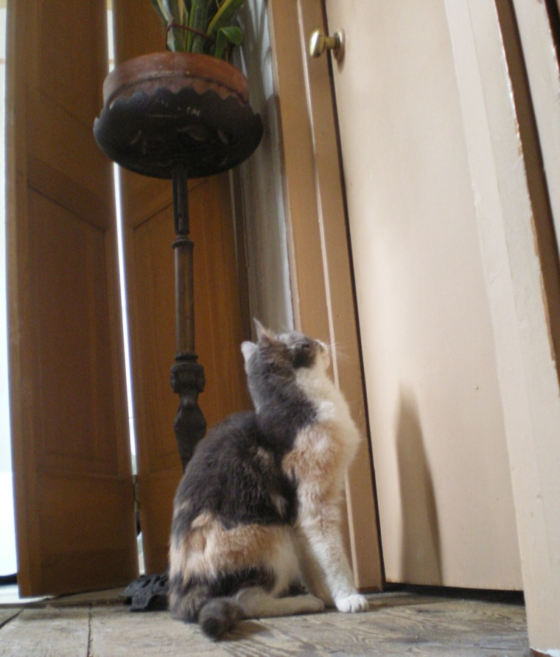 dilute calico cat looking at doorknob