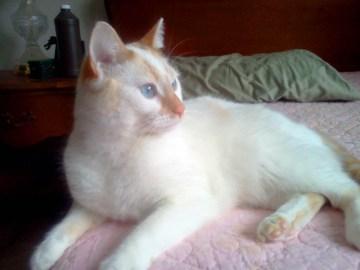 orange and white cat with blue eyes